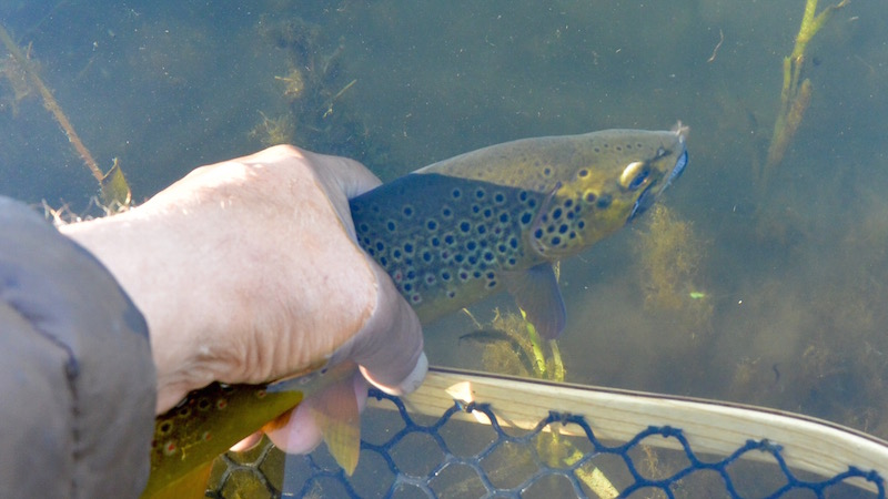 150723_milldam_brown_trout.jpg