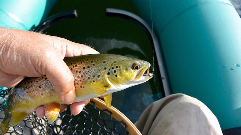 160630 anderson new browntrout