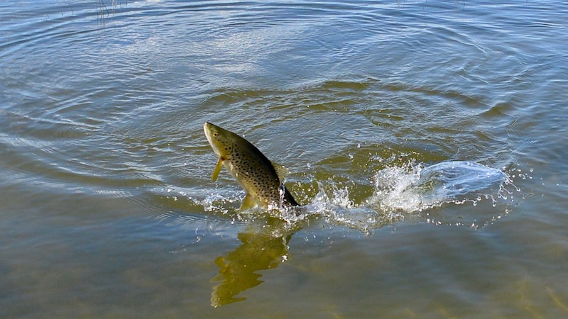 170214_ashwick_flat_creek_jumping_trout.jpg