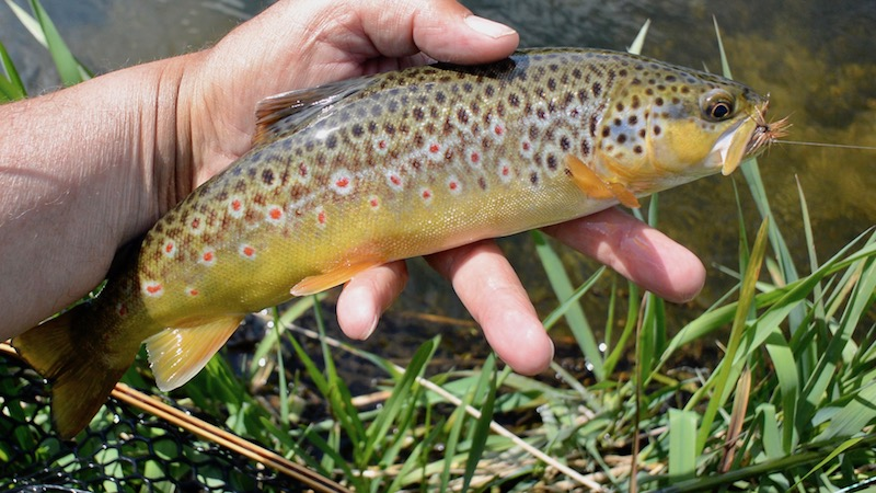 170522 villestrup brown trout