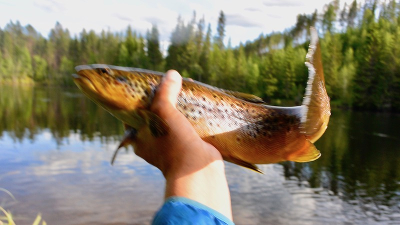 170629_rena_upstream_bridge_trout.jpg