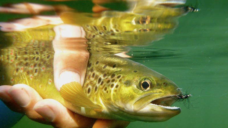 170912_milldam_brown_trout_.jpg