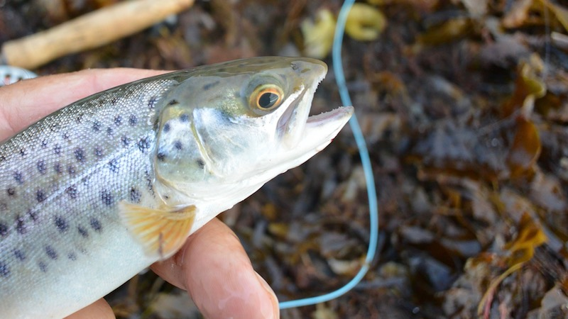 180909_esby_small_trout.jpg