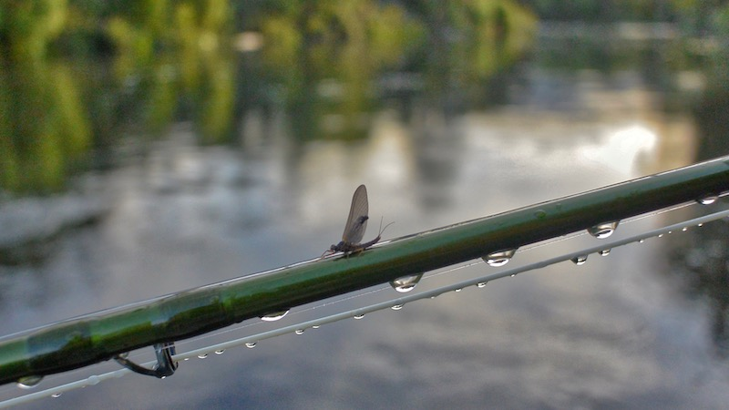 181117 tongariro river mayfly