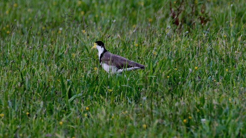 181122_tailwater_Spur-winged-plover.jpg