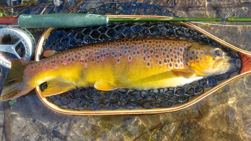 190208 milldam brown trout