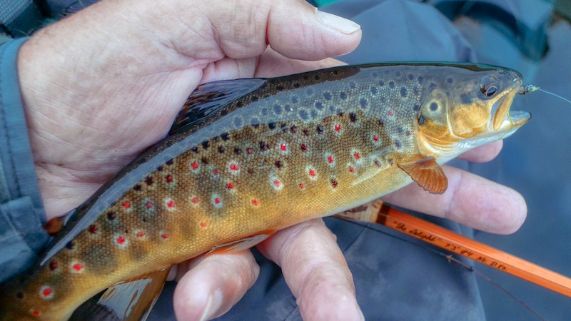 200827 milldam browntrout